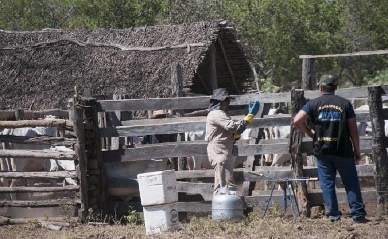 Adapec doa 3 mil doses de vacinas contra febre aftosa, para atender rebanho de comunidades quilombolas e indígenas