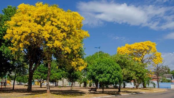 Mesmo em condições severas de estiagem, espécies do cerrado garantem colorido a praças e jardins de Palmas