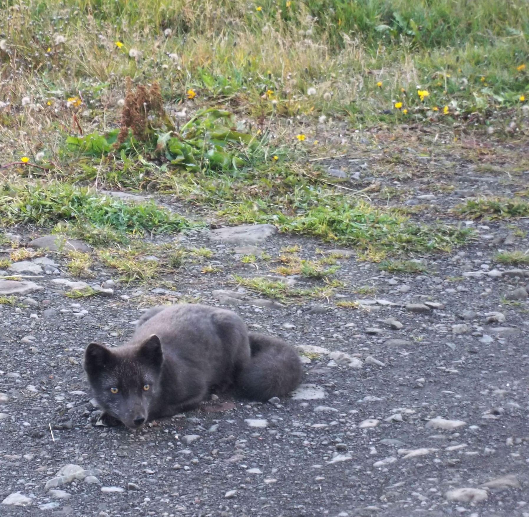 Renard arctique, Heydalur, septembre 2012