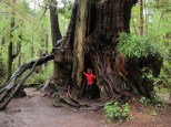 Le plus gros Sitka Spruce au monde! Olympic NP
