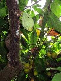 Male Cacao fruit, near oranges
