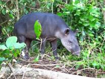 Le Tapir, enfin vu au Corcovado, Costa Rica