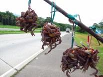 Hummm les crabes de la mangroves (illégal!)