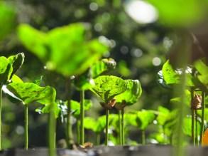 Nouveaux plants en pépinière