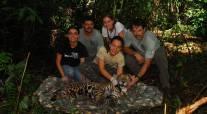 Marquage d'un jaguar