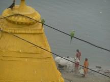 Vaches et perruches vivent leur vie au bord du Gange, à Varanasi (Bénarès)