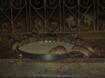 Le temple des rats, près de Bikaner, au Rajasthan