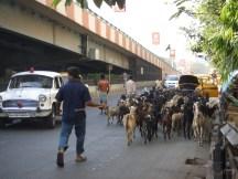 Troupeau de chèvres dans une rue de Calcutta