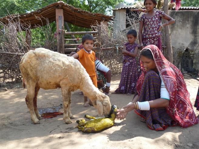 Naissance d'un agneau chez les Raïka du Rajasthan