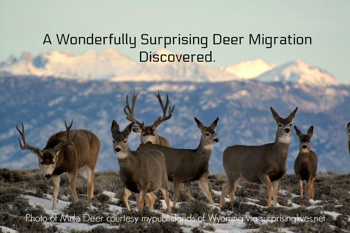 surprisinglives.net/surprising-deer-migration-discovered/