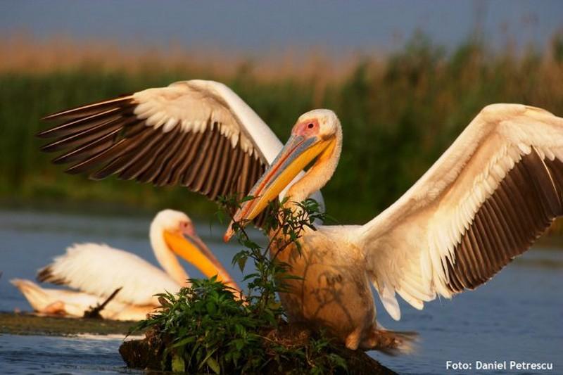 Câți pelicani avem în România, în 2017