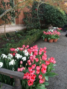 Tulips doing well at Filoli!