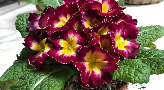Primrose. A Delightful Winter Flower