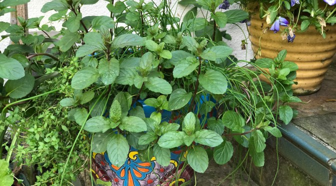 Mint. The Social Butterfly of the Garden