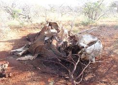 Elephant killed by poachers, Kenya Photo Credit Wikimedia Commons