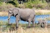 Savannah elephant at the Okavango Delta, South Africa Credit Jason Robertson