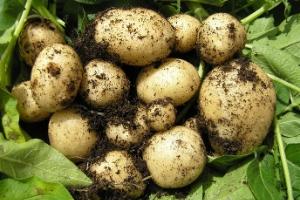 cultivos de papa, papa de colombia,