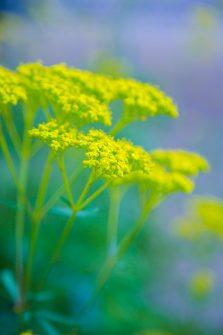 オミナエシ。自然の花。