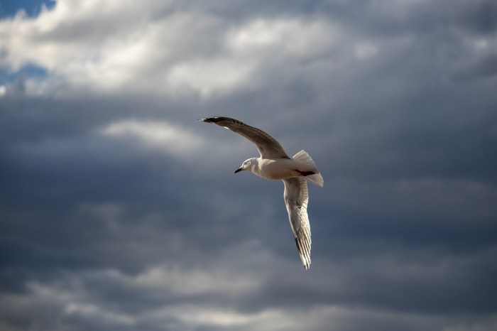 Vogel Jagd - Vogel Fallen stellen Möwe