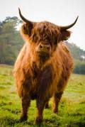 Highland Cattle as homesteading livestock.