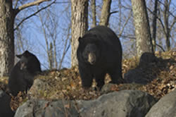 Black bears near survival shelter