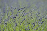 Lavender as Medicinal Herb