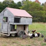 Winterizing your chicken coop - 4 ways to avoid frozen chickens