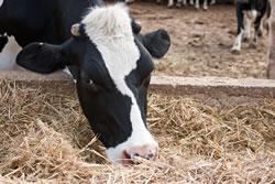 Raising cattle on small acreage.