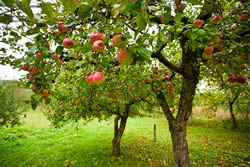 Apple orchard for self sufficiency