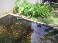 Raising fish in backyard pond.