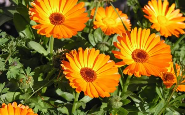 Medicinal Herbs to Grow - Calendula