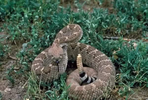 Snake Bite Treatment - Western diamondback rattlesnake (Crotalus atrox)