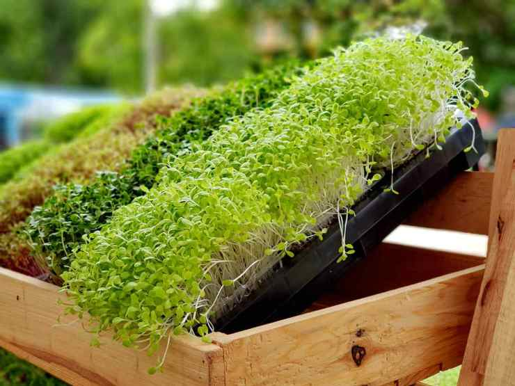 A microgreen or Sprouts are raw living sprout vegetables germinated from high quality organic plant seeds   Your Road Map To Self Sufficiency