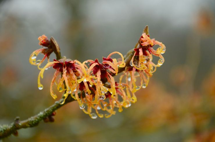 witch hazel bush drip flowers | Primitive Sun Block Methods | Natural Remedies | natural remedies | free natural remedies