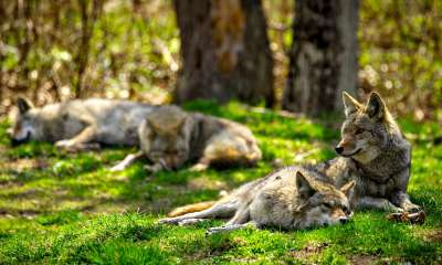 A pack of North American Coyotes lazily rest and sleep in a Canadian forest | Coyote vs Wolf Knowing The Difference | Featured