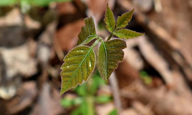 Selective focus poison ivy leaves   How To Prevent And Treat Poison Ivy, Oak, And Sumac