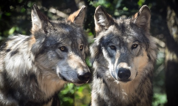 Wolves | Dangerous Creatures and How to Avoid Them