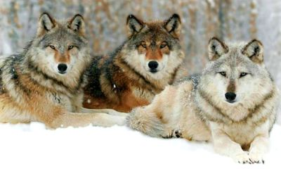 Feature | Close-up portrait of a three wolves in the cold winter | Yellowstone Wolves: The Return Of The Wolf To Yellowstone