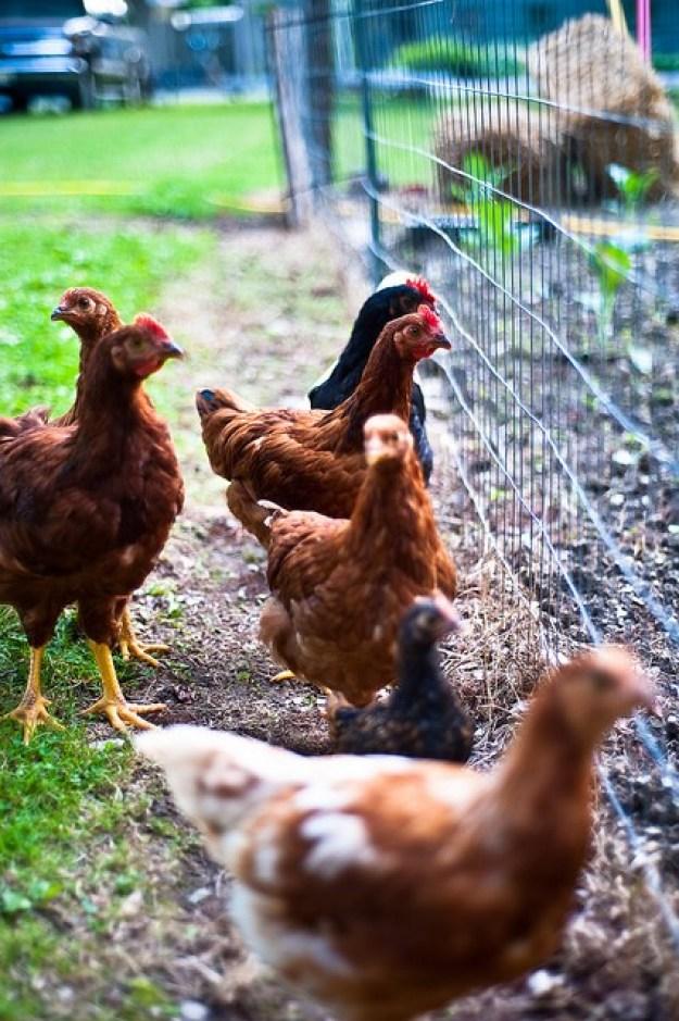 chicken farming 2