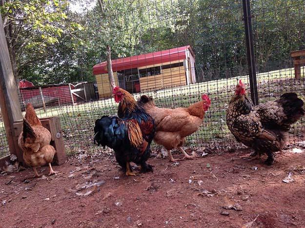 chicken farming 5