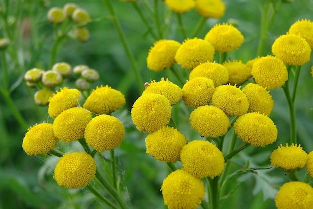 Tansy | Powerful Medicinal Plants From Around the World