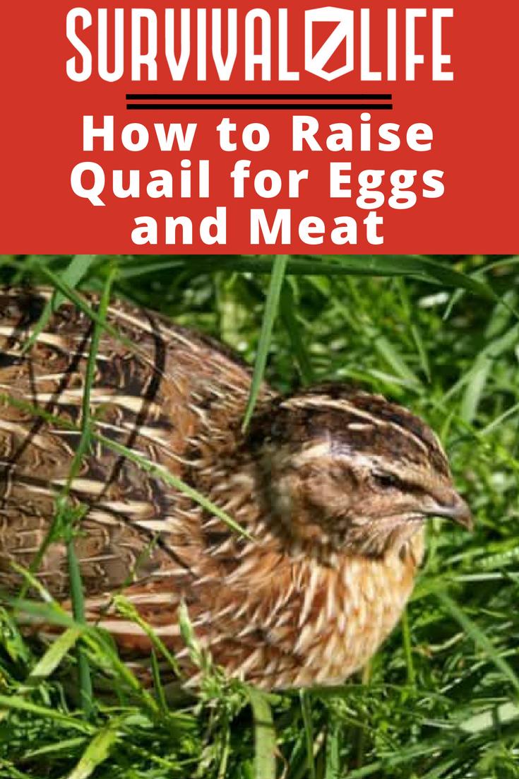How To Raise Quail For Eggs And Meat | https://survivallife.com/raise-quail/
