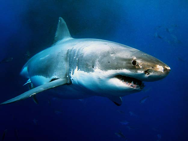 The 7 Most Dangerous Animals In North America Shark