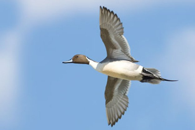 Duck Hunting in Florida   Florida Hunting Laws and Regulations