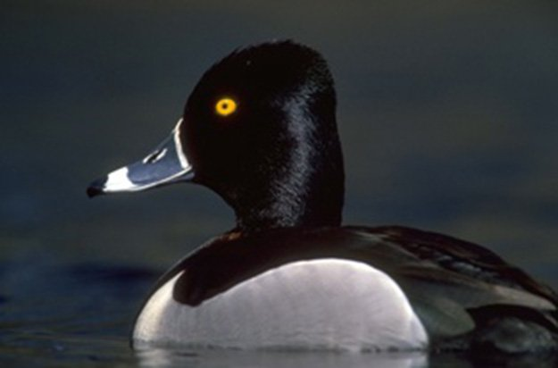 Duck Hunting Seasons in Georgia| Georgia Hunting Laws and Regulations