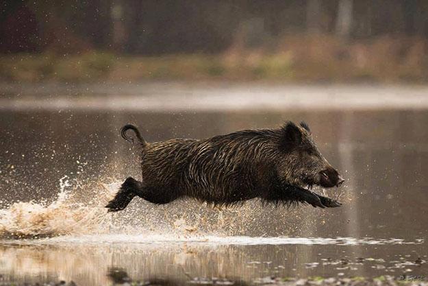Hunting Wild Boar in Hawaii | HawaiiHunting Laws