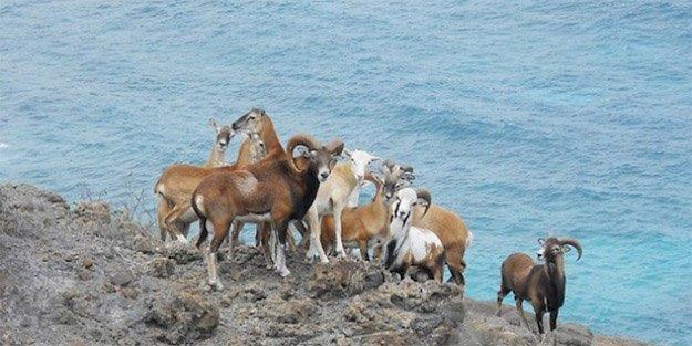 Hunting Mouflon Sheep in Hawaii | HawaiiHunting Laws