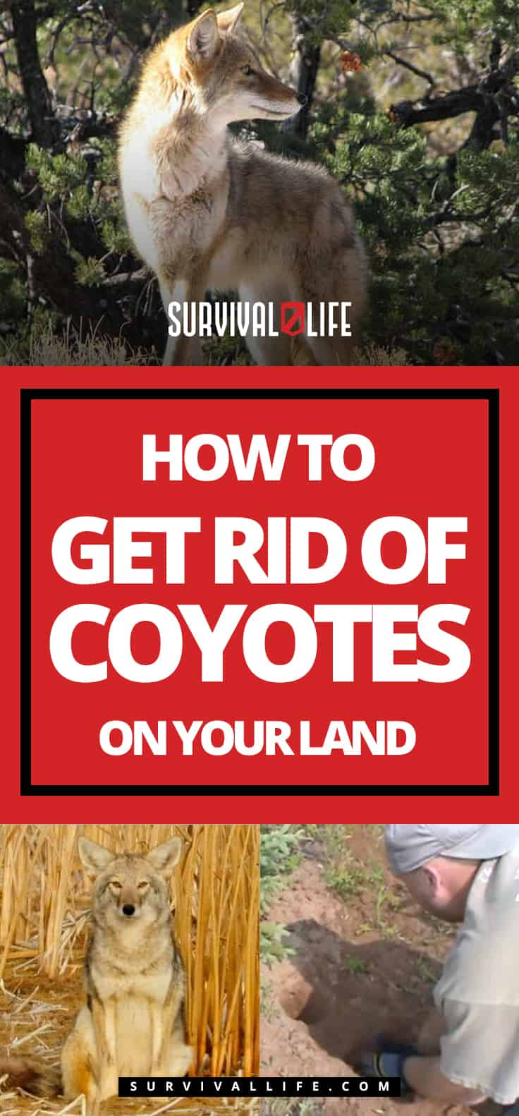 How To Get Rid Of Coyotes On Your Land | https://survivallife.com/get-rid-coyotes/