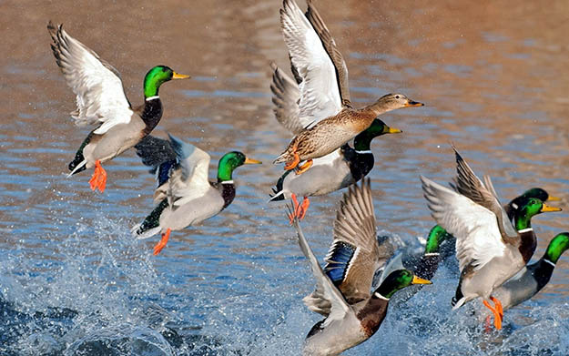 Duck Hunting in Indiana | Indiana Hunting Laws