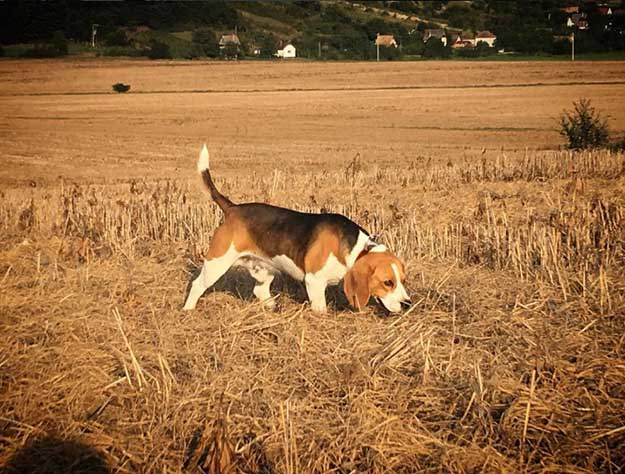 Let Them Learn Through Experience | The Do's and Don'ts of Beagle Hunting
